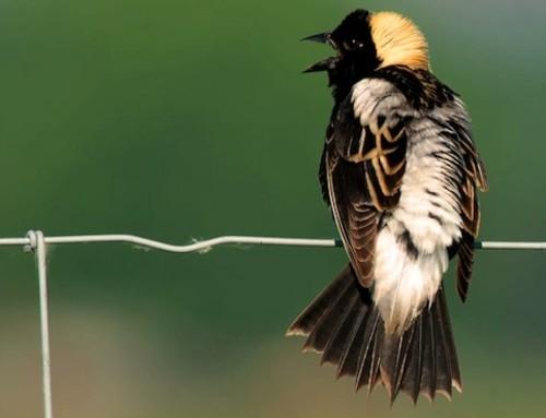 Disparition des oiseaux : une conséquence des cultures intensives