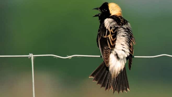 disparition-oiseaux-cultures