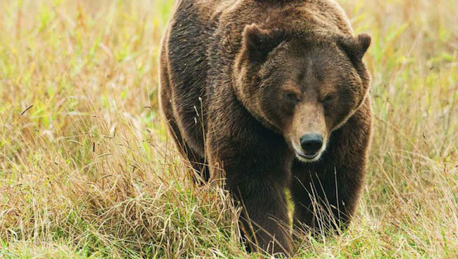 reintroduction-ours-bearn