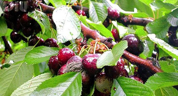 cerises-fruit-insecte