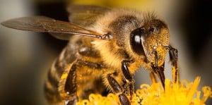 La disparition des abeilles a des conséquences critiques sur la pollinisation