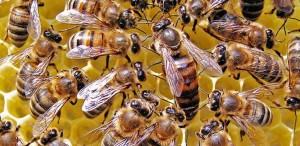 La Reine des abeilles à miel