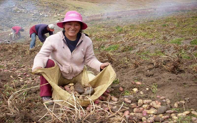 Paysans entrain de récolter ses pommes de terre