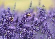 des abeilles butinent des fleurs de lavande