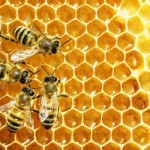 Les Abeilles dans la ruche