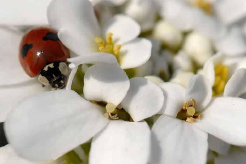 une coccinelle sur une fleur blanche