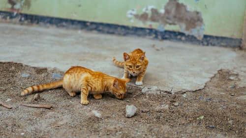 des chats errants
