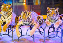 L'interdiction des animaux sauvages dans les cirques vient d'être votée par Paris.