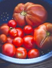 Les tomates, menacées par un nouveau virus émergent, inquiètent beaucoup les producteurs.