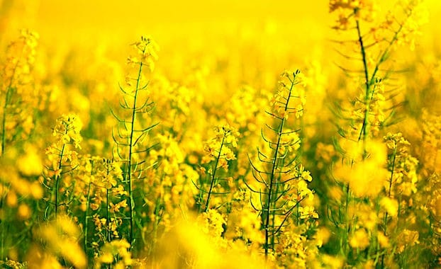 Une mesure anti-OGM vient de s'appliquer aux semences de colza et de tournesol.