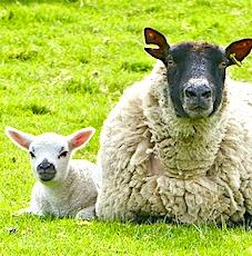 Les moutons et les brebis, au coeur du pastoralisme des Pyrénées, sont souvent victimes d'attaques d'ours.