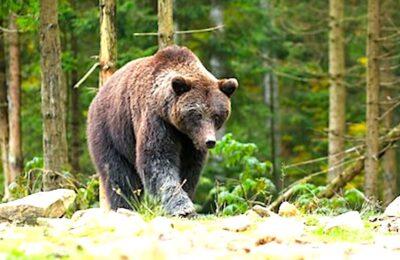 Le monde du pastoralisme s'oppose à la réintroduction de l'ours dans les Pyrénées.