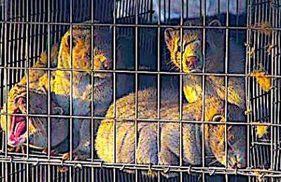 L'élevage de visons provoque de la maltraitance animale en France.
