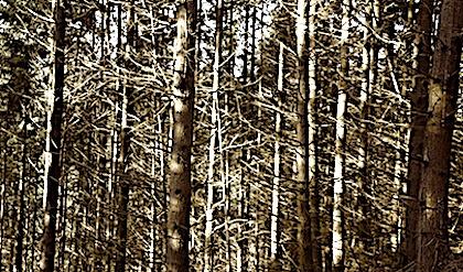 Des hécatombes d'arbres touchent actuellement les forêts françaises.
