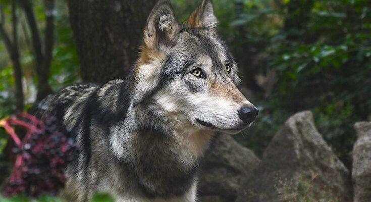 Un loup gris vu dans le Loir-et-Cher révèle une présence exceptionnelle