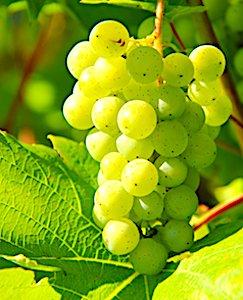 grappe de raisin un symbole pour les vins de Cheverny