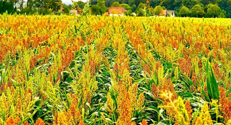 La culture du sorgho a l'avantage d'être une céréale plus résistante à la sécheresse