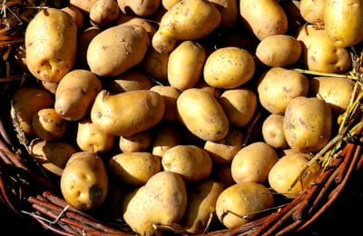 La culture de la pomme de terre entraîne une surproduction en France