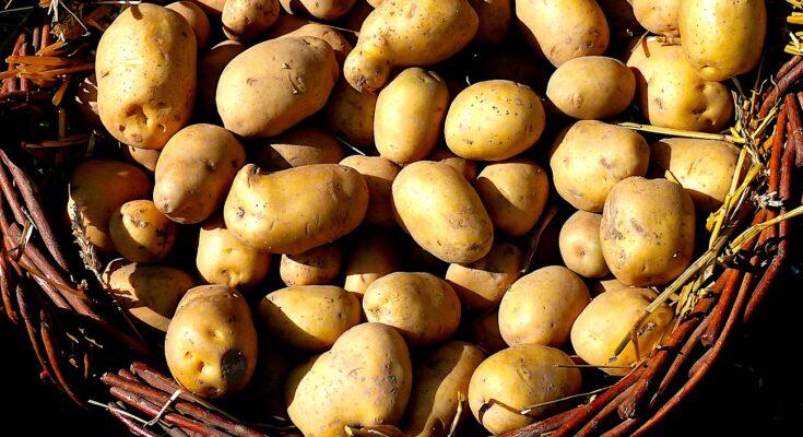 Culture de la pomme de terre : une production excédentaire