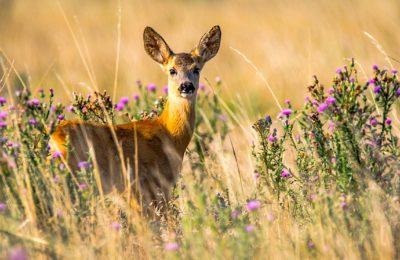 La chasse au grand gibier va bénéficier en novembre d'autorisations temporaires
