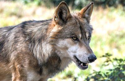 Face aux nombreuses attaques de loup, la Saône-et-Loire veut mieux protéger ses troupeaux de moutons
