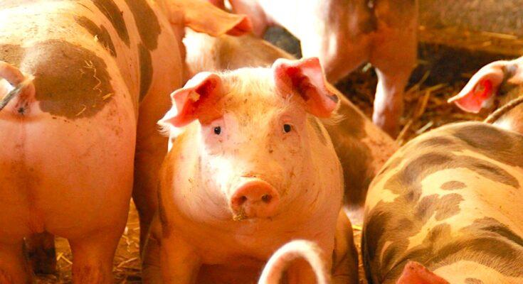 Un élevage de porcs dans l'Allier a subi des accusations de maltraitance par l'association L124