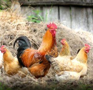 des coqs et poules pour Le Jura De Ferme en Ferme