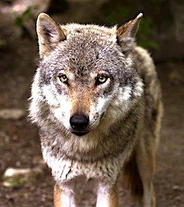 En 2021, les attaques de loup devraient se réduire en Saône-et-Loire. Ce qui limitera les pertes de moutons.