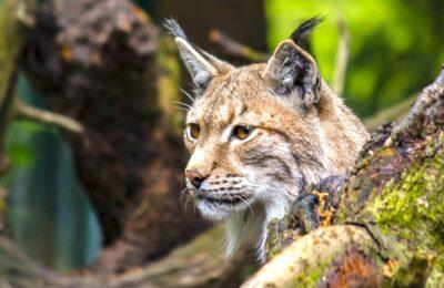 Un nouvel abattage illégal de lynx est survenu dans le Doubs