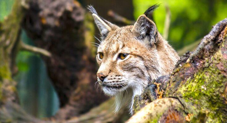 Un lynx abattu : un nouvel acte illégal dans le Doubs