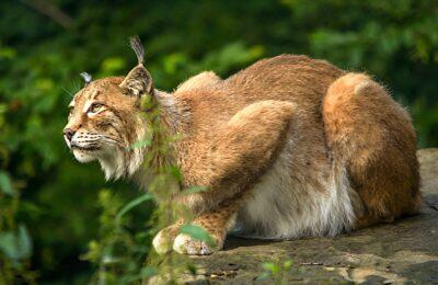 Un nouveau lynx braconné dans le Doubs a entraîné une offre de récompense pour retrouver le braconnier.