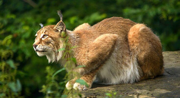 Lynx braconné dans le Doubs : une prime offerte par une association