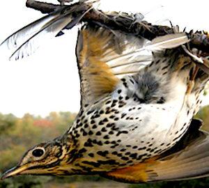En mars dernier, la Cour européenne s'est prononcée contre la pratique de la chasse à la glu.