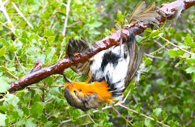 La Cour européenne est favorable à une interdiction de la chasse à la glu.