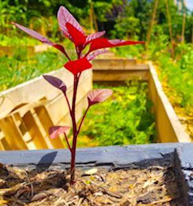 Actuellement, le co-jardinage urbain est une activité florissante à Toulouse. Encore amplifiée par la crise sanitaire.