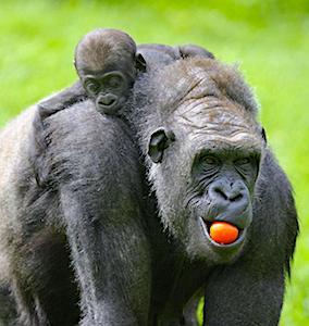 Bientôt, le ZooParc de Beauval va pouvoir rouvrir ses portes, après sept mois de fermeture.
