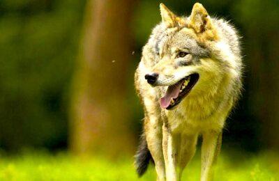 Le « Plan loup » est un dispositif qui permet de protéger les éleveurs des attaques de ce prédateur.