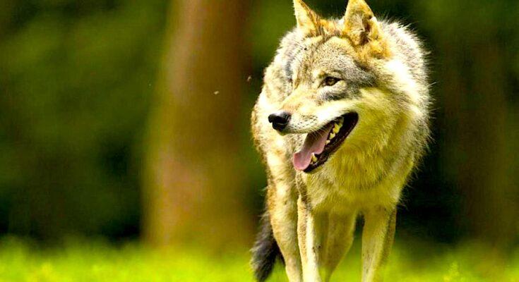 «Plan loup» : une mesure de protection des éleveurs décrétée dans le Doubs