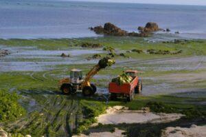 ramassage d'algue en Bretagne