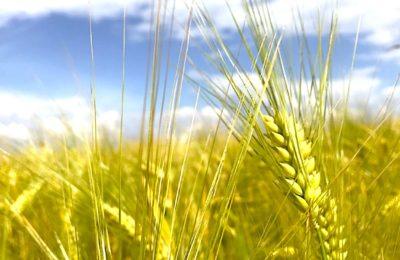 Orge sans carbone : la Marne teste une culture plus écologique