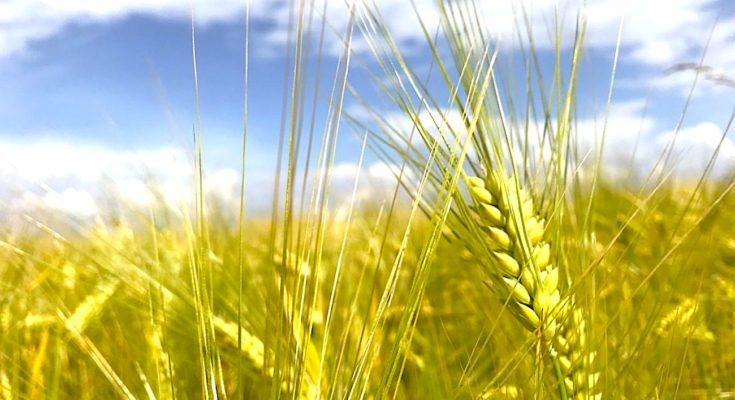 Actuellement, cultiver de l'orge sans carbone est une expérience menée dans la Marne.