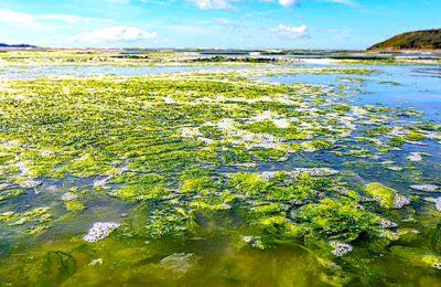 Marées vertes en Bretagne : un fléau qui stagne sur le littoral