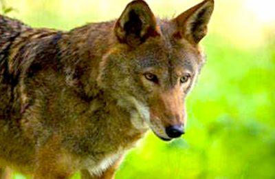 Contre la réintroduction du loup, qui provoque une prédation croissante dans certains troupeaux, les éleveurs ont manifesté à Grenoble.